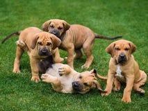Quatro cachorrinhos de Fila Brasileiro Brazilian Mastiff que têm o divertimento fotos de stock royalty free