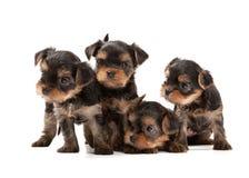 Quatro cachorrinhos do yorkshire terrier Fotos de Stock