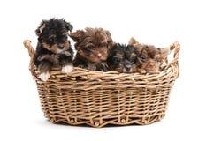 Quatro cachorrinhos do yorkshire terrier em uma cesta Foto de Stock Royalty Free