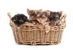 Quatro cachorrinhos do yorkshire terrier em uma cesta Fotografia de Stock Royalty Free