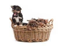 Quatro cachorrinhos do yorkshire terrier em uma cesta Imagens de Stock