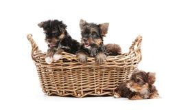 Quatro cachorrinhos do yorkshire terrier em uma cesta Fotografia de Stock