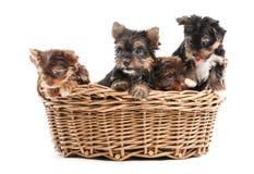 Quatro cachorrinhos do yorkshire terrier em uma cesta Imagem de Stock