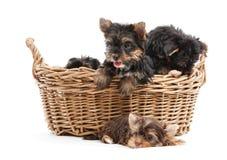 Quatro cachorrinhos do yorkshire terrier em uma cesta Fotos de Stock Royalty Free
