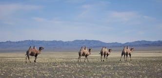 Quatro camelos com oito corcundas Foto de Stock