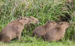 Capybaras pequenos Imagens de Stock Royalty Free