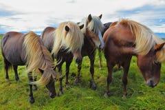 Quatro cavalos islandêses Fotografia de Stock Royalty Free