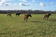 Quatro cavalos no prado Imagens de Stock