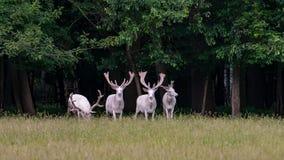 Quatro cervos brancos majestosos na reserva do jogo, floresta no bacgroung foto de stock