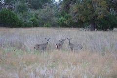 Quatro cervos em Texas sul Fotografia de Stock Royalty Free