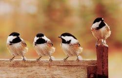 Quatro chickadees Imagens de Stock