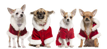 Quatro chihuahuas que desgastam revestimentos de Papai Noel Imagens de Stock Royalty Free