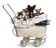 Quatro chihuahuas que sentam-se no carrinho de criança de bebê Fotografia de Stock Royalty Free