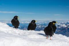 Quatro choughs alpinos que sentam-se na neve na montagem Pilatus fotos de stock royalty free