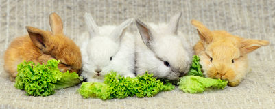 Quatro coelhos recém-nascidos fotografia de stock royalty free