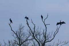Quatro cormorões (carbo do Phalacrocorax) sentam-se em um ramo de árvore inoperante Foto de Stock Royalty Free
