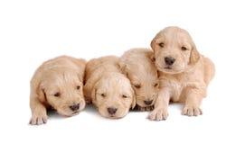 Quatro filhotes de cachorro Imagem de Stock