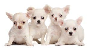 Quatro filhotes de cachorro da chihuahua, 2 meses velhos Imagem de Stock Royalty Free