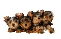 Quatro filhotes de cachorro de yorkshire Imagem de Stock