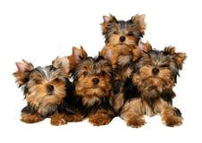 Quatro filhotes de cachorro de yorkshire Fotografia de Stock