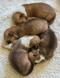 Quatro filhotes de cachorro do Corgi Fotografia de Stock Royalty Free