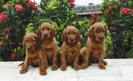 Quatro filhotes de cachorro do setter irlandês Imagens de Stock