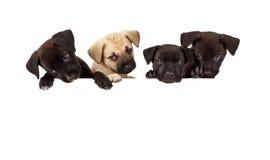 Quatro filhotes de cachorro sobre uma bandeira branca em branco Imagem de Stock