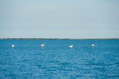 Quatro flamingos que aninham Camargue Imagens de Stock