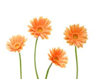 Quatro flores amarelas de Gerber Fotos de Stock Royalty Free