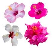 Quatro flores do hibiscus Fotos de Stock Royalty Free