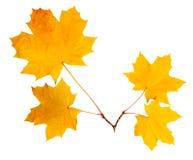 Quatro folhas de bordo no corte Fotos de Stock Royalty Free