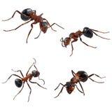 Quatro formigas Imagens de Stock