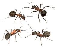 Quatro formigas grandes da floresta Fotografia de Stock Royalty Free
