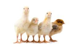 Quatro galinhas foto de stock