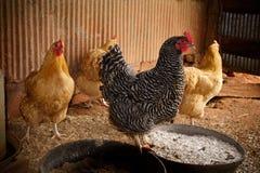 Quatro galinhas em uma gaiola de galinha Foto de Stock Royalty Free