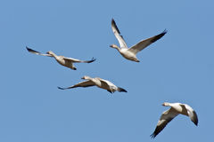 Quatro gansos de neve no vôo Imagens de Stock Royalty Free