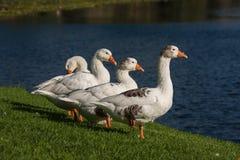 Quatro gansos domésticos imagem de stock