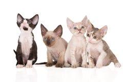 Quatro gatinhos adoráveis do rex de Devon que levantam no branco Fotos de Stock Royalty Free