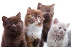 Quatro gatinhos bonitos do brititsh Fotografia de Stock Royalty Free