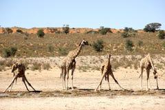 Quatro girafas que bebem África Fotos de Stock Royalty Free