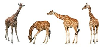 Quatro giraffes Foto de Stock