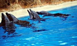 Quatro golfinhos Fotografia de Stock Royalty Free