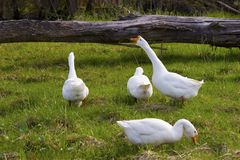 Quatro gooses brancos Imagens de Stock