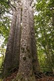 Quatro irmãs - grandes árvores do Kauri Fotografia de Stock Royalty Free