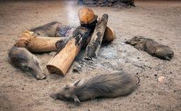 Quatro javalis africanos selvagens que mantêm-se mornos em torno de uma fogueira suazilândia Foto de Stock Royalty Free