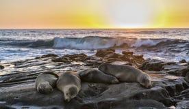 Quatro leões de mar passaram para fora nas rochas, San Diego Beach, CA imagem de stock