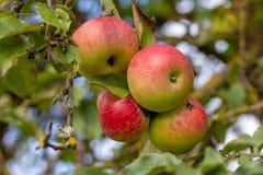 Quatro maçãs magníficas em um ramo de árvore Imagem de Stock Royalty Free