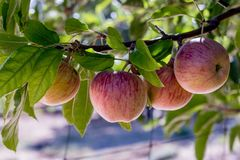 Quatro maçãs orgânicas deliciosas da herança vermelha madura orgânica natural fresca em ramos em uma árvore de maçã, saudável, di Foto de Stock