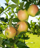 Quatro maçãs reddening fotografia de stock