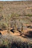 Quatro meerkats bonitos no deserto de Oudtshoorn, África do Sul Imagens de Stock Royalty Free